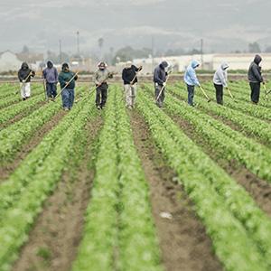 Farm workers hoe a large field.