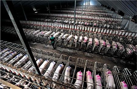 Las industrias de la carne maltratan a los animales.