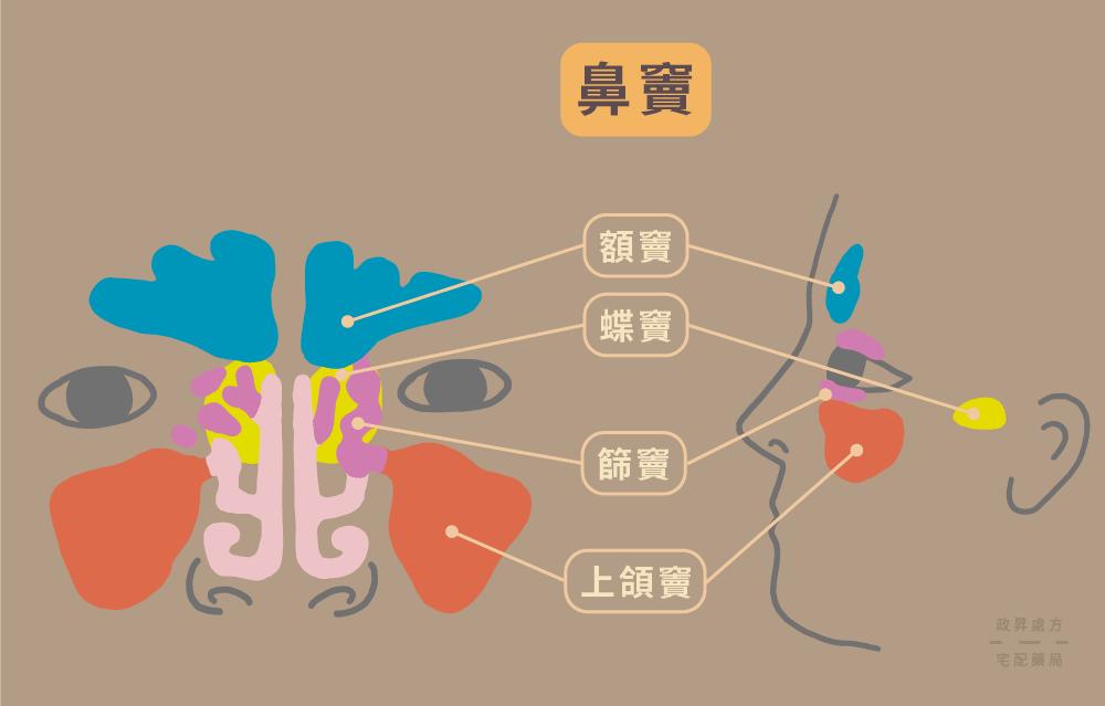 四種鼻竇的相對位置示意
