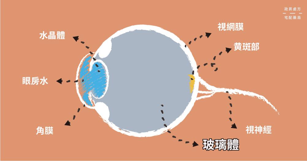眼睛構造圖與玻璃體