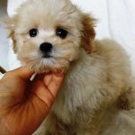 Teacup Maltipoo Puppy For Sale Los Angeles Ca Iheartteacups