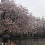 氷雨桜 授業の始まった日に…