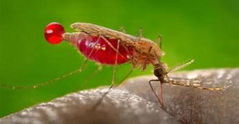 GHTM/IHMT colabora no maior estudo genético de mosquitos