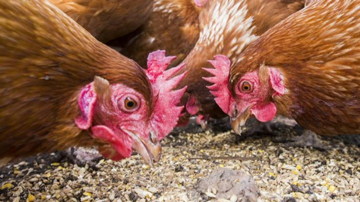 Kippen en geiten voeren op Informatieboerderij Zorgvrij