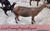 Goat-farming-project-report-in-hindi