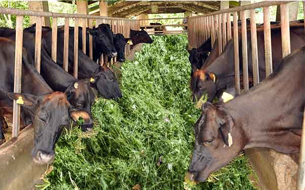 Dairy Farming business-in-india-hindi