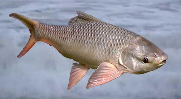 Rohu-Fish