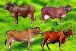 milch-breeds-of-cow-in-India