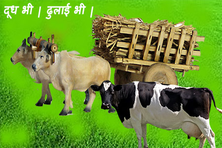 Dual purpose breeds of cow-in-India