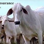 livestock-insurance-scheme
