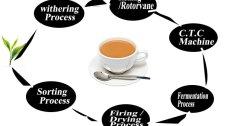 tea processing process in hindi