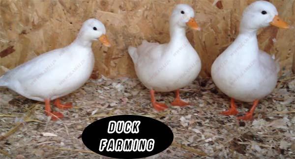 duck farming business