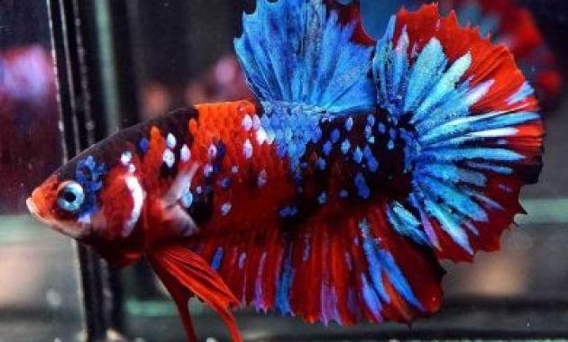 Ikan Cupang Red