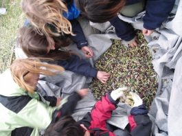 Greek classes and olive harvest - November