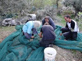 Greek classes and olive harvest, November