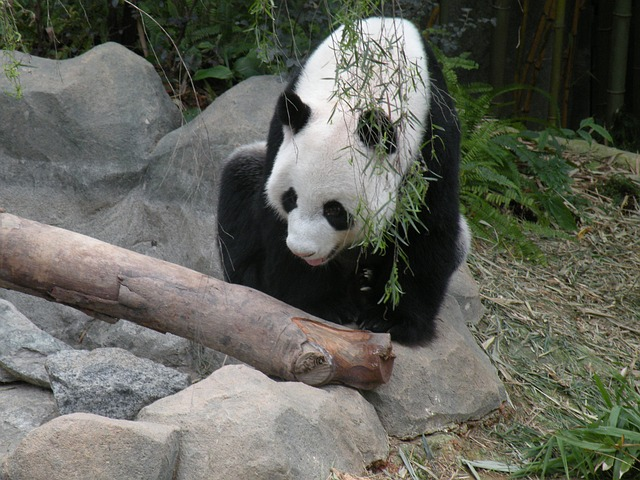 panda-665192_640