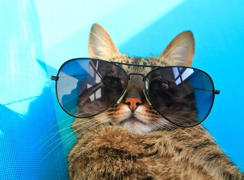 Kat met zonnebril op