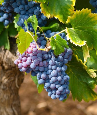 Wine Grapes harvest 2016 stolen in France