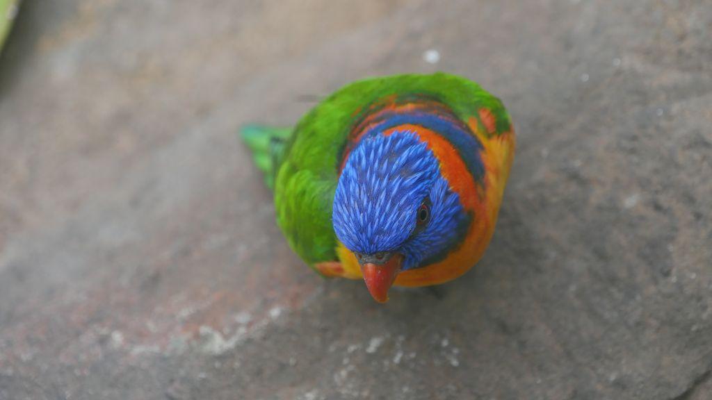 Vogel met de kleuren blauw, oranje, groen, geel en rood