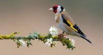 European Goldfinch Profile