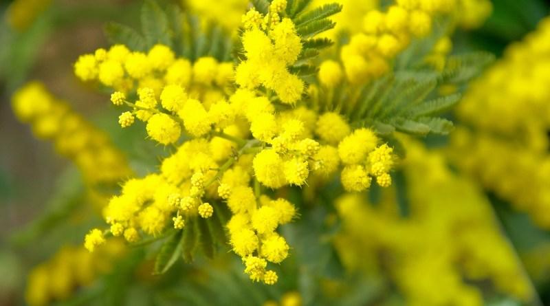 mimosa donna