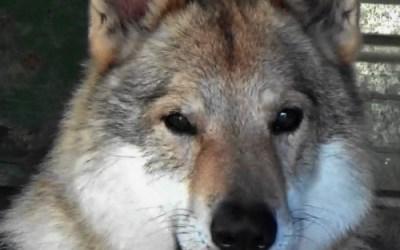 Lothar, il lupo che ha portato Kylo nella vita di Giulia/Mirko