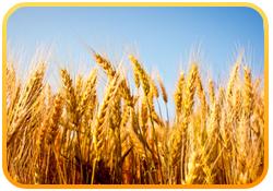 pretty-wheat