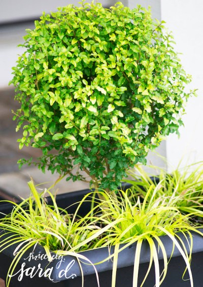Sunshine-Ligustrum2