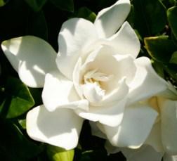 Gardenia_Jubilation_300x273px