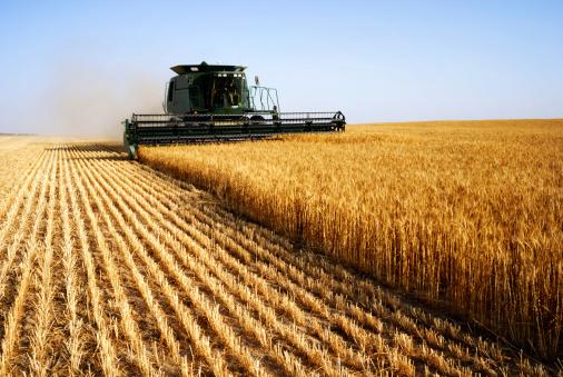 grano campo agricoltura 146785820