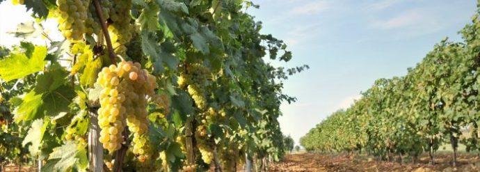 """Vermentino di Maremma, il vino """"pop"""" del territorio"""