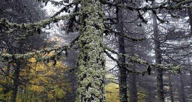 Albero coperto di Licheni