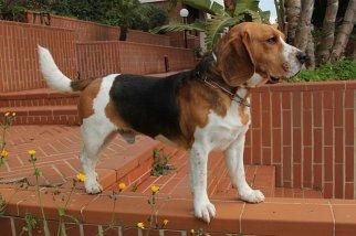 Toby-Beagle