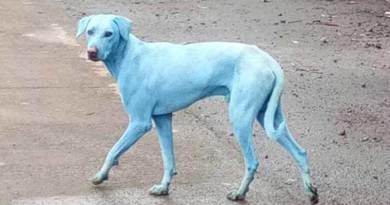 in India cani blu