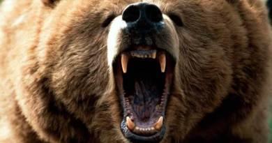 Tassista si fa selfie con un orso e viene sbranato. Cane lo soccorre