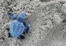 Nate 121 tartarughe a Scoglitti, Ragusa. Volontari WWF le hanno accompagnate a mare