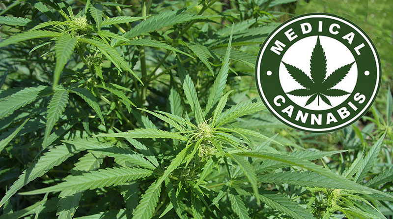 piante di canapa (Cannabis sativa)