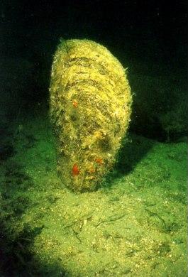 Pinna Nobilis, bivalve del Mediterraneo a rischio di estinzione