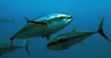 """Tonno rosso, Basciano (AGCI Pesca Sicilia): """"Nel Ddl in Senato quota indivisa a chi è già autorizzato a cattura pescespada"""""""