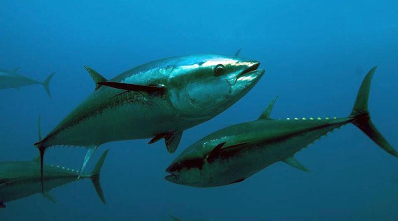 tonni del mediterraneo