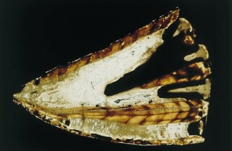 Sezione longitudinale di un fossile di torreites sanchezi