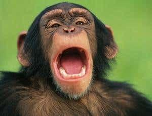 Scimmia che sbadiglia