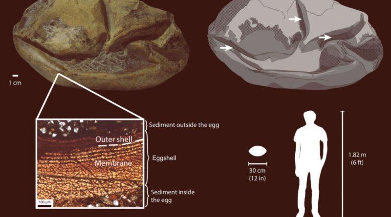 Uovo di mosasauro rapportato alle dimensioni di un uomo