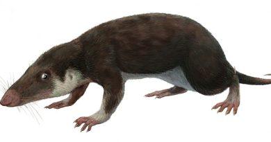 Morganucodon, simile al Borealestes