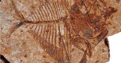Fossile di Mene