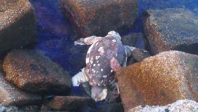 Photo of Procida, ritrovata la carcassa di una tartaruga