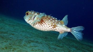 Photo of Nei mari italiani rispunta specie ittica tossica