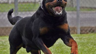 Photo of Citara, aggredita col suo cagnolino da un rottweiler