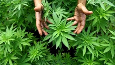Photo of Marijuana nel terreno, braccio di ferro tra accusa e difesa