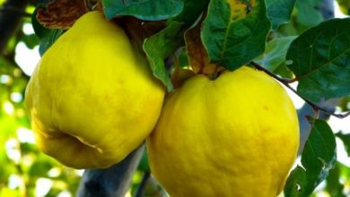 """Photo of Tentativo di rilancio sull'isola delle mele cotogne un frutto dimenticato Nel tempo delle mele la """"borsa verde"""" le riscopre e ne raccomada l'uso"""